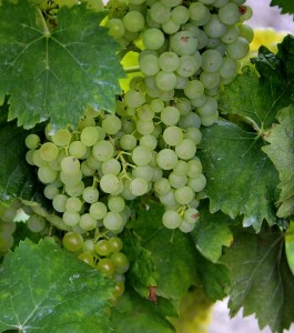 Ugni grapes growing in Cognac