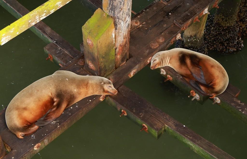 santa-cruz-wharf-sea-lions